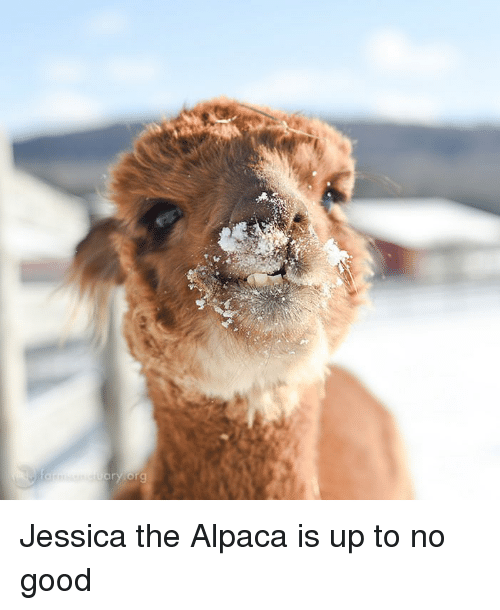 Funny, Good, and Alpaca: Jessica the Alpaca is up to no good