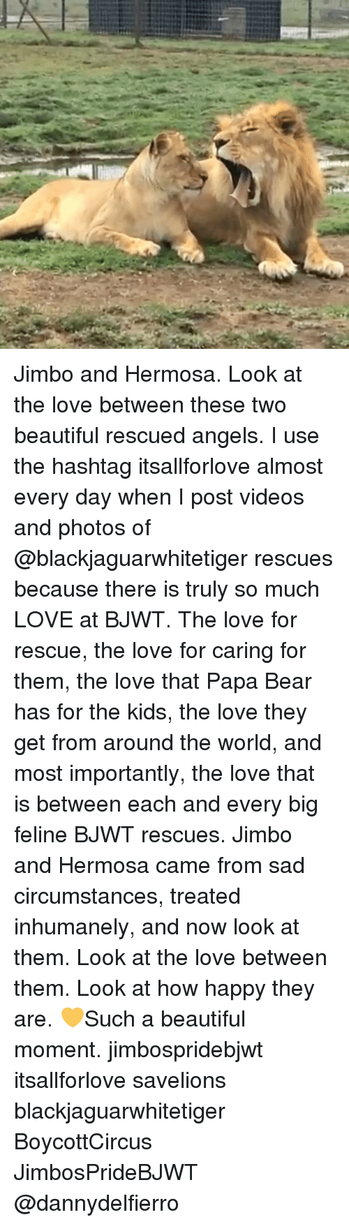 Beautiful, Love, and Memes: Jimbo and Hermosa. Look at the love between these two beautiful rescued angels. I use the hashtag itsallforlove almost every day when I post videos and photos of @blackjaguarwhitetiger rescues because there is truly so much LOVE at BJWT. The love for rescue, the love for caring for them, the love that Papa Bear has for the kids, the love they get from around the world, and most importantly, the love that is between each and every big feline BJWT rescues. Jimbo and Hermosa came from sad circumstances, treated inhumanely, and now look at them. Look at the love between them. Look at how happy they are. 💛Such a beautiful moment. jimbospridebjwt itsallforlove savelions blackjaguarwhitetiger BoycottCircus JimbosPrideBJWT @dannydelfierro
