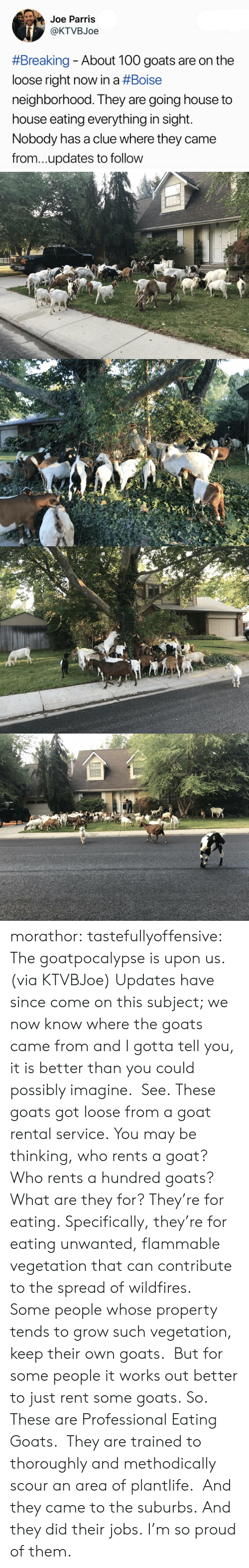 unwanted: Joe Parris  @KTVBJoe  #Breaking-About 100 goats are on the  loose right now in a #Boise  neighborhood. They are going house to  house eating everything in sight.  Nobody has a clue where they came  from...updates to follow morathor: tastefullyoffensive: The goatpocalypse is upon us. (via KTVBJoe) Updates have since come on this subject; we now know where the goats came from and I gotta tell you, it is better than you could possibly imagine. See. These goats got loose from a goat rental service. You may be thinking, who rents a goat? Who rents a hundred goats? What are they for? They're for eating. Specifically, they're for eating unwanted, flammable vegetation that can contribute to the spread of wildfires. Some people whose property tends to grow such vegetation, keep their own goats. But for some people it works out better to just rent some goats. So. These are Professional Eating Goats. They are trained to thoroughly and methodically scour an area of plantlife. And they came to the suburbs. And they did their jobs. I'm so proud of them.