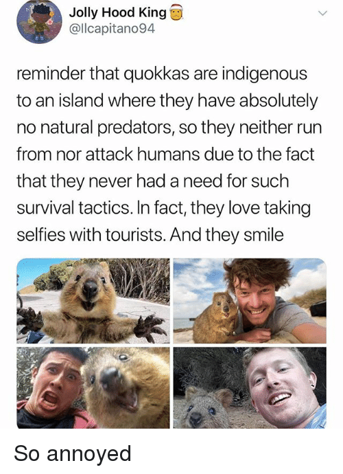 Love, Memes, and Run: Jolly Hood King  @llcapitano94  reminder that quokkas are indigenous  to an island where they have absolutely  no natural predators, so they neither run  from nor attack humans due to the fact  that they never had a need for such  survival tactics. In fact, they love taking  selfies with tourists. And they smile So annoyed