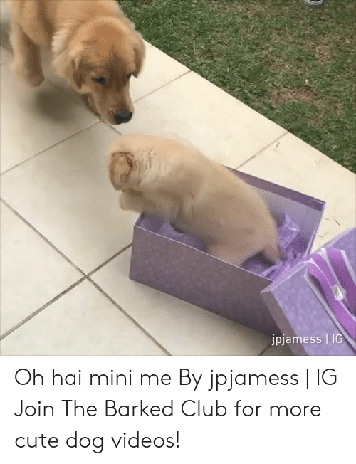dog videos: jpjamess | IG Oh hai mini me By jpjamess | IG  Join The Barked Club for more cute dog videos!