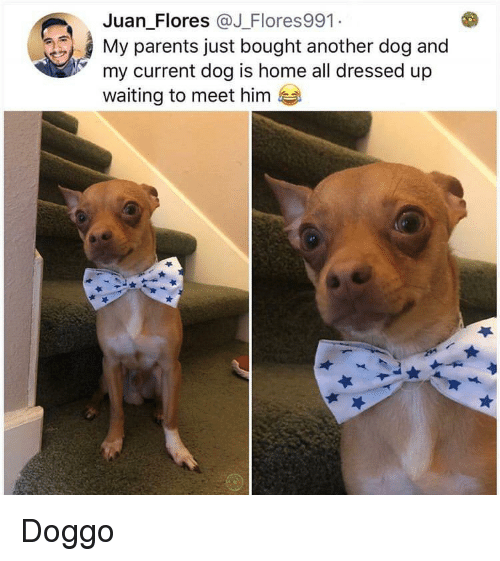 flores: Juan Flores @J Flores991  My parents just bought another dog and  my current dog is home all dressed up  waiting to meet hinm Doggo