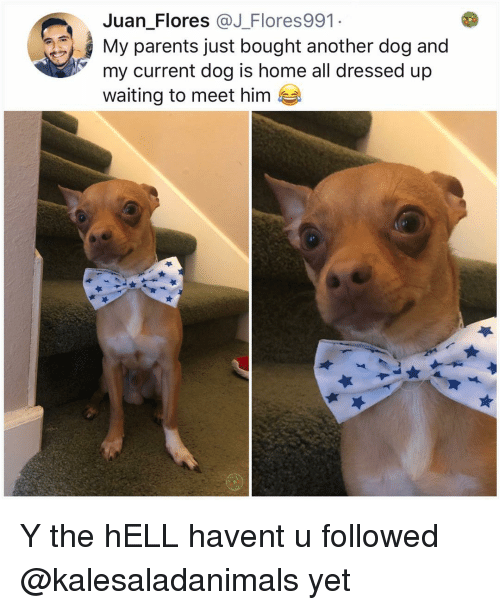 flores: Juan Flores @J_Flores991  My parents just bought another dog and  my current dog is home all dressed up  waiting to meet him Y the hELL havent u followed @kalesaladanimals yet