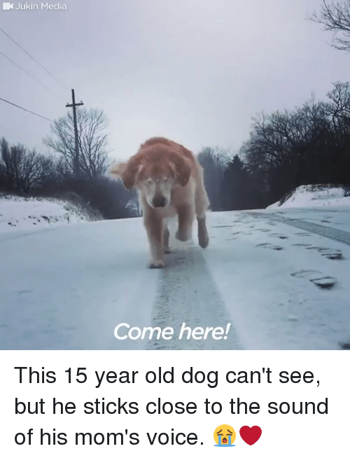 Funny, Moms, and Voice: Jukin Media  Come here! This 15 year old dog can't see, but he sticks close to the sound of his mom's voice. 😭❤