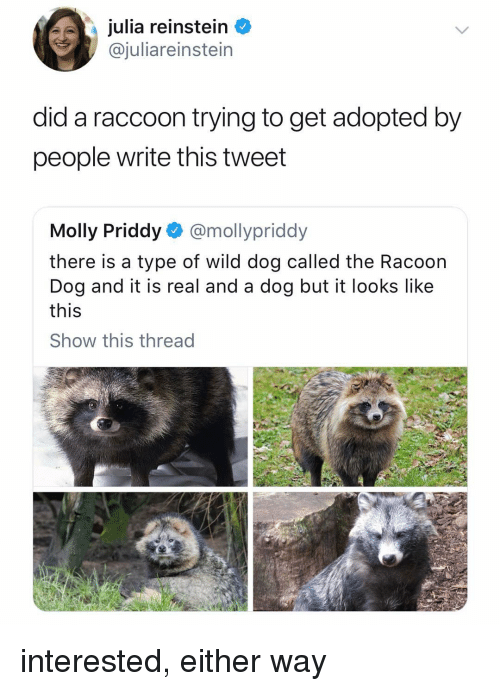 Memes, Molly, and Raccoon: julia reinstein  @juliareinstein  did a raccoon trying to get adopted by  people write this tweet  Molly Priddy @mollypriddy  there is a type of wild dog called the Racoon  Dog and it is real and a dog but it looks like  this  Show this thread interested, either way