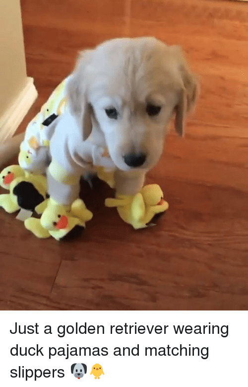 slippers: Just a golden retriever wearing duck pajamas and matching slippers 🐶🐥
