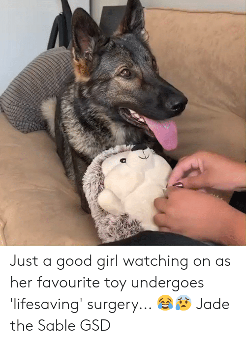 gsd: Just a good girl watching on as her favourite toy undergoes 'lifesaving' surgery... 😂😰  Jade the Sable GSD