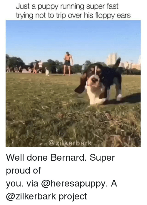 Bernard: Just a puppy running super fast  trying not to trip over his floppy ears  zilkerbark Well done Bernard. Super proud of you. via @heresapuppy. A @zilkerbark project