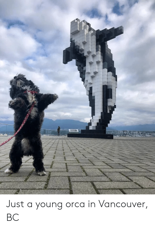 orca: Just a young orca in Vancouver, BC