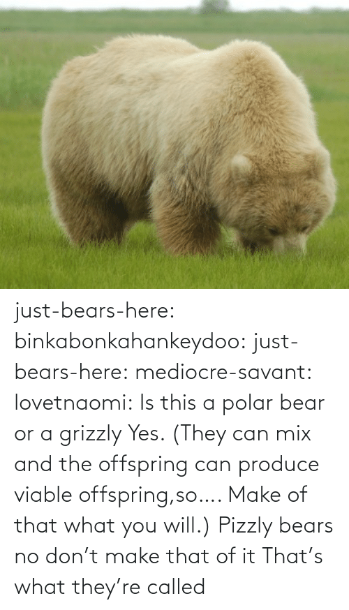 Bears: just-bears-here: binkabonkahankeydoo:   just-bears-here:  mediocre-savant:   lovetnaomi:  Is this a polar bear or a grizzly   Yes. (They can mix and the offspring can produce viable offspring,so…. Make of that what you will.)   Pizzly bears   no don't make that of it   That's what they're called