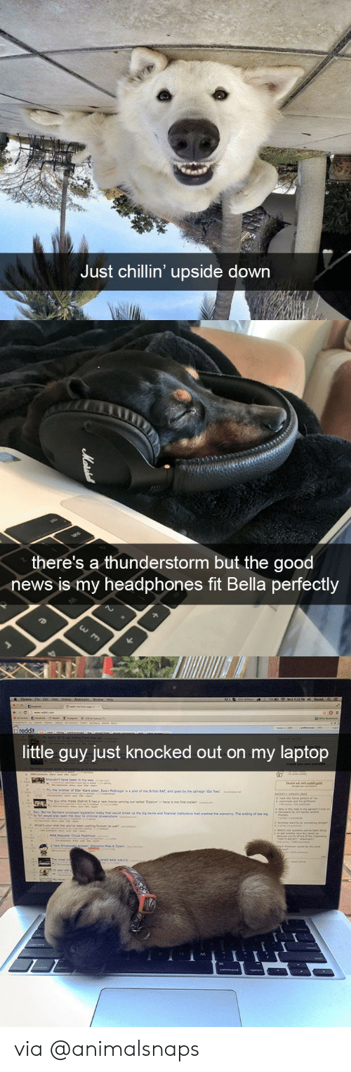 knocked out: Just chillin' upside down   there's a thunderstorm but the good  news is my headphones fit Bella perfectly   ittle quy just knocked out on my laptop via @animalsnaps