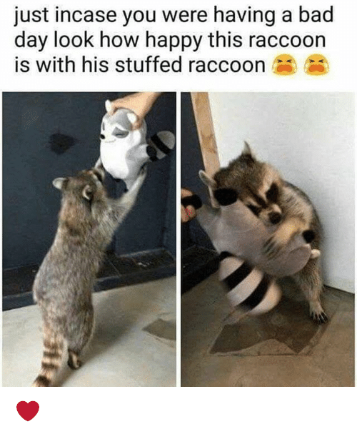 Bad, Bad Day, and Memes: just incase you were having a bad  day look how happy this raccoon  is with his stuffed raccoon ❤️