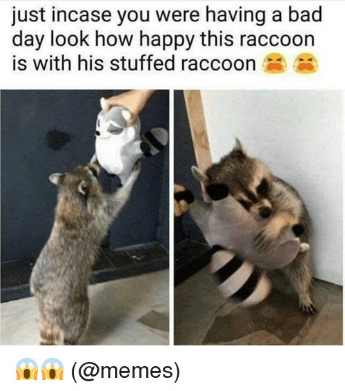 Bad, Bad Day, and Memes: just incase you were having a bad  day look how happy this raccoon  is with his stuffed raccoon 😱😱 (@memes)