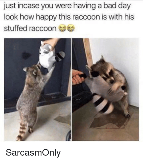 Bad, Bad Day, and Funny: just incase you were having a bad day  look how happy this raccoon is with his  stuffed raccoon SarcasmOnly