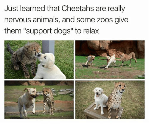 Just Learned That Cheetahs Are Really Nervous Animals and ... Relaxing Dogs
