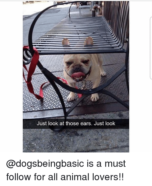 Memes, Animal, and 🤖: Just look at those ears. Just look @dogsbeingbasic is a must follow for all animal lovers!!