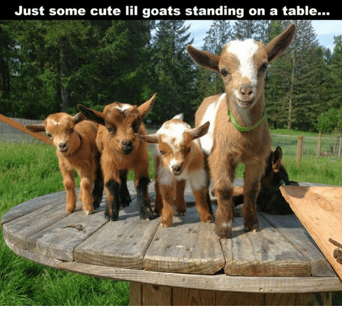 Memes, Goat, and 🤖: Just some cute lil goats standing on a table...