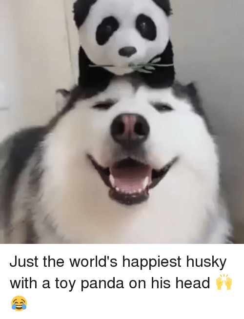 Memes, Panda, and Husky: Just the world's happiest husky with a toy panda on his head 🙌😂