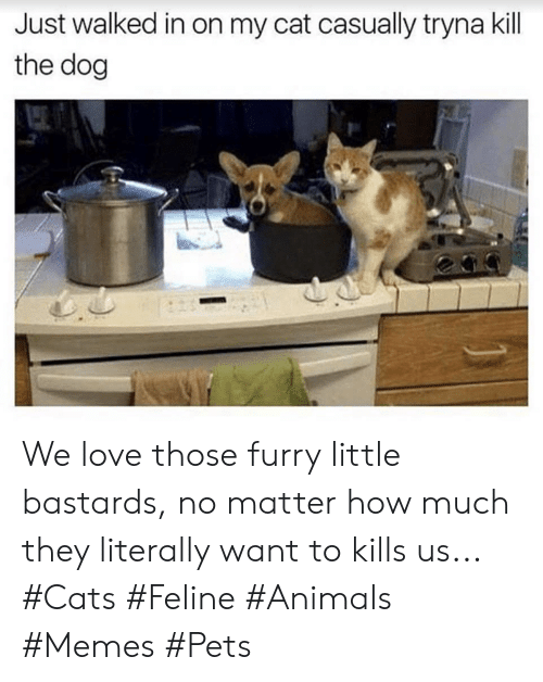 Animals Memes: Just walked in on my cat casually tryna kill  the dog We love those furry little bastards, no matter how much they literally want to kills us... #Cats #Feline #Animals #Memes #Pets