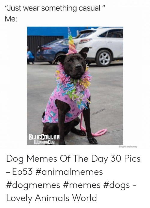 """Memes Dogs: """"Just wear something casual  Me:  @bellypibble  BLUECOLLAR  WORHINEDOB  @toothandhoney Dog Memes Of The Day 30 Pics – Ep53 #animalmemes #dogmemes #memes #dogs - Lovely Animals World"""