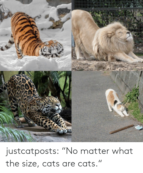 "No Matter What: justcatposts:  ""No matter what the size, cats are cats."""