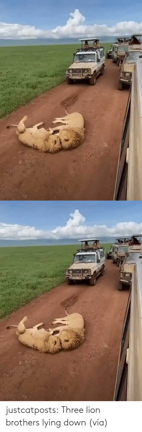 three: justcatposts:  Three lion brothers lying down (via)