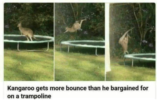 Trampoline, Kangaroo, and For: Kangaroo gets more bounce than he bargained for  on a trampoline
