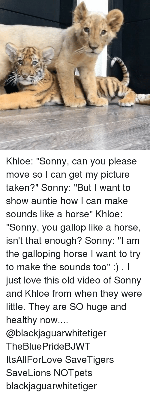"Love, Memes, and Taken: Khloe: ""Sonny, can you please move so I can get my picture taken?"" Sonny: ""But I want to show auntie how I can make sounds like a horse"" Khloe: ""Sonny, you gallop like a horse, isn't that enough? Sonny: ""I am the galloping horse I want to try to make the sounds too"" :) . I just love this old video of Sonny and Khloe from when they were little. They are SO huge and healthy now.... @blackjaguarwhitetiger TheBluePrideBJWT ItsAllForLove SaveTigers SaveLions NOTpets blackjaguarwhitetiger"