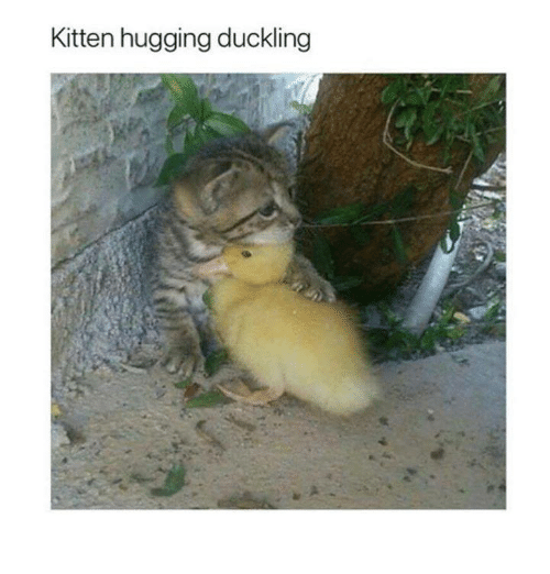Memes, 🤖, and Kitten: Kitten hugging duckling