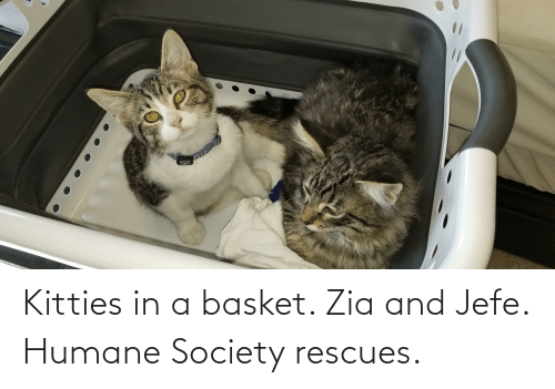 jefe: Kitties in a basket. Zia and Jefe. Humane Society rescues.