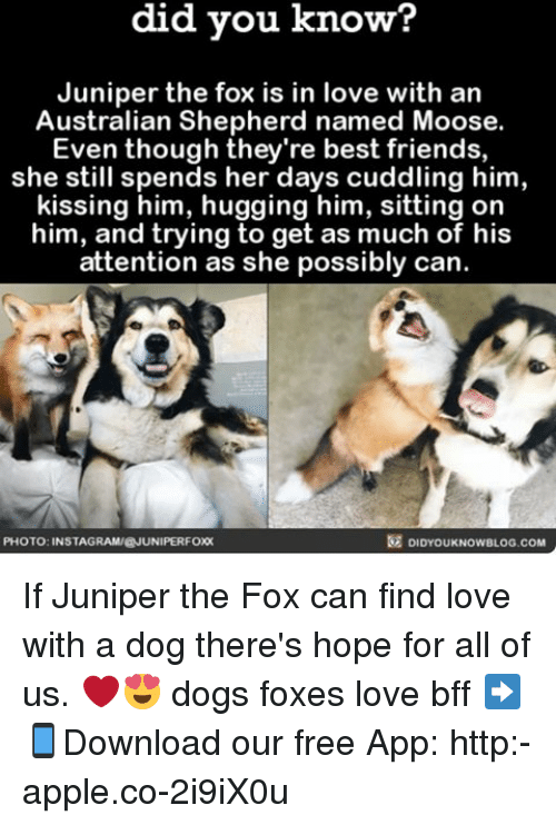 finding love: know?  did you know?  Juniper the fox is in love with an  Australian Shepherd named Moose.  Even though they're best friends,  she still spends her days cuddling him,  kissing him, hugging him, sitting on  him, and trying to get as much of his  attention as she possibly can  DIDYOUKNOwBLOG.coM  PHOTO: INSTAGRAMIEJUNIPERFOX If Juniper the Fox can find love with a dog there's hope for all of us. ❤️😍 dogs foxes love bff ➡📱Download our free App: http:-apple.co-2i9iX0u