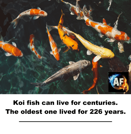 25 best memes about koi fish koi fish memes for Oldest koi fish