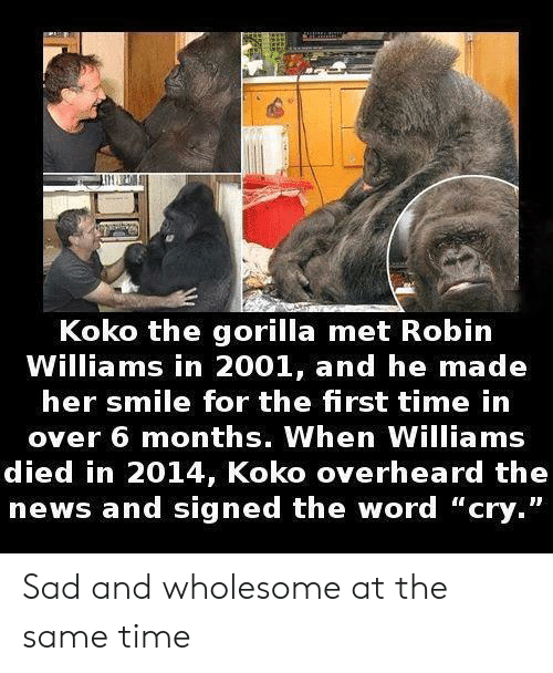 """Robin Williams: Koko the gorilla met Robin  Williams in 2001, and he made  her smile for the first time in  over 6 months. When Williams  died in 2014, Koko overheard the  news and signed the word """"cry."""" Sad and wholesome at the same time"""