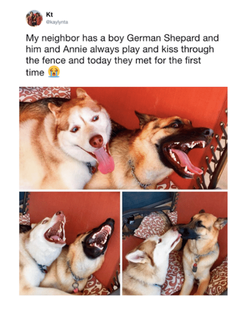 Dank, Annie, and Kiss: Kt  Okaylynta  My neighbor has a boy German Shepard and  him and Annie always play and kiss through  the fence and today they met for the first  time