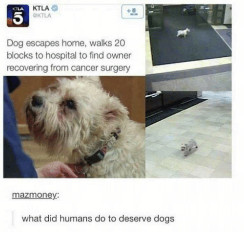 Ktla: KTLA  KTLA  KTLA  Dog escapes home, walks 20  blocks to hospital to find owner  recovering from cancer surgery  mazmoney:  what did humans do to deserve dogs