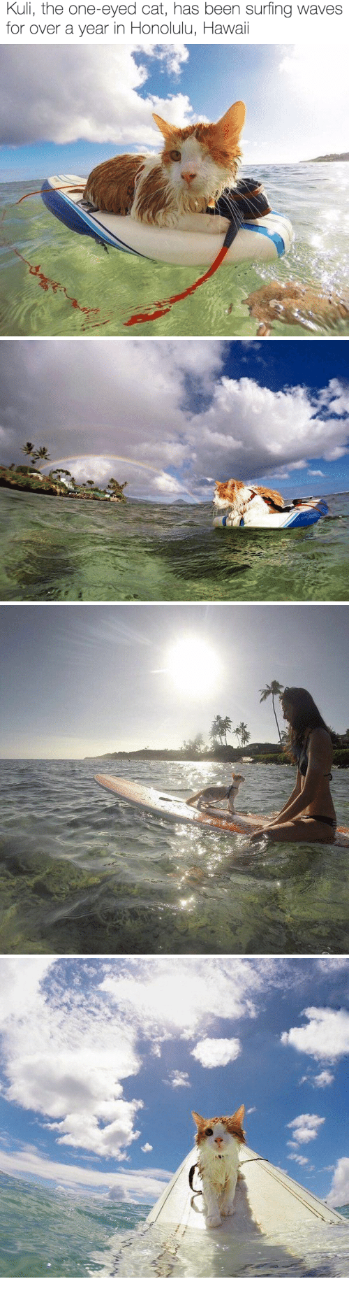 honolulu: Kuli, the one-eyed cat, has been surfing waves  for over a year in Honolulu, Hawaii