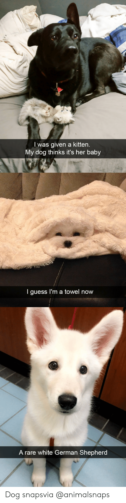 Rares: l was given a kitten.  My dog thinks it's her baby   I guess I'm a towel now   A rare white German Shepherd Dog snapsvia @animalsnaps