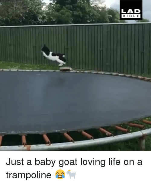 Baby Goat: LAD  BIBL E Just a baby goat loving life on a trampoline 😂🐐