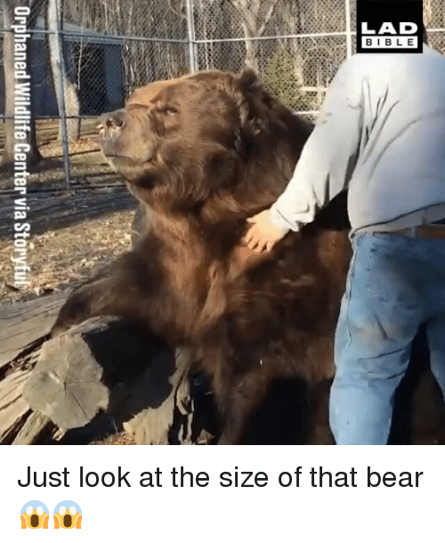 Memes, Bear, and 🤖: LAD  BIBL E Just look at the size of that bear 😱😱