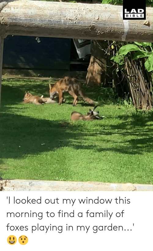 foxes: LAD  BIBLE 'I looked out my window this morning to find a family of foxes playing in my garden...' 😃😯