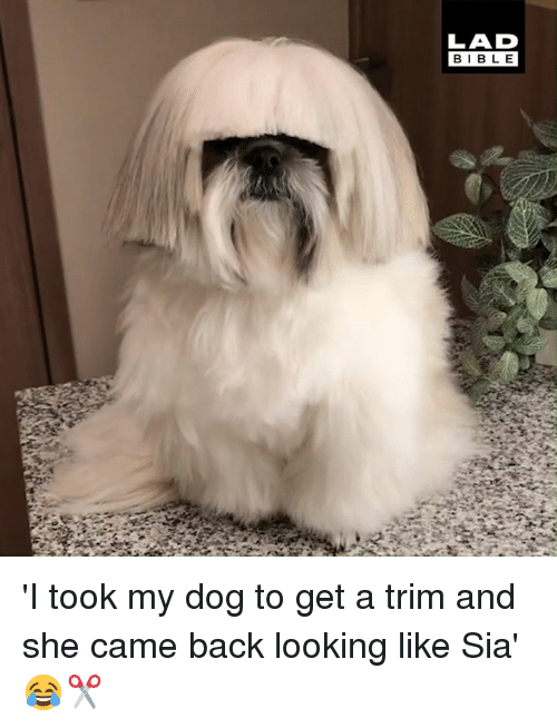 sia: LAD  BIBLE 'I took my dog to get a trim and she came back looking like Sia' 😂✂️