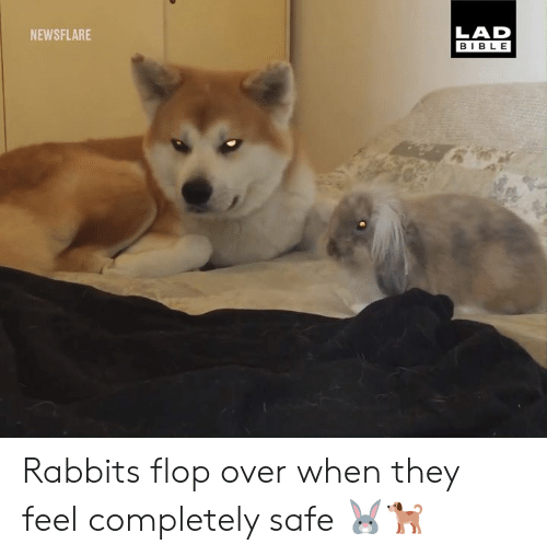 rabbits: LAD  BIBLE  NEWSFLARE Rabbits flop over when they feel completely safe 🐰🐕