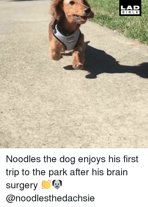 Memes, Bible, and Brain: LAD  BIBLE Noodles the dog enjoys his first trip to the park after his brain surgery 👏🐶 @noodlesthedachsie