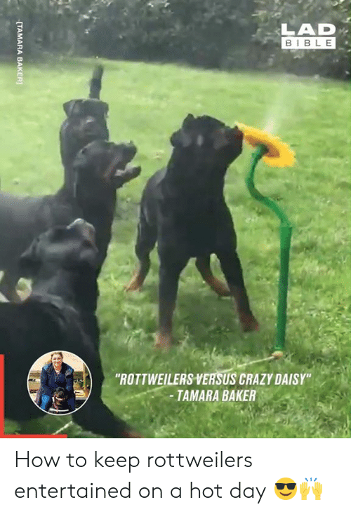 "Entertained: LAD  BIBLE  ""ROTTWEILERS VERSUS CRAZY DAISY""  -TAMARA BAKER  [TAMARA BAKER How to keep rottweilers entertained on a hot day 😎🙌"