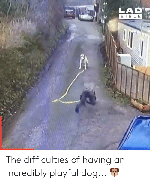 playful: LAD  BIBLE The difficulties of having an incredibly playful dog... 🐶