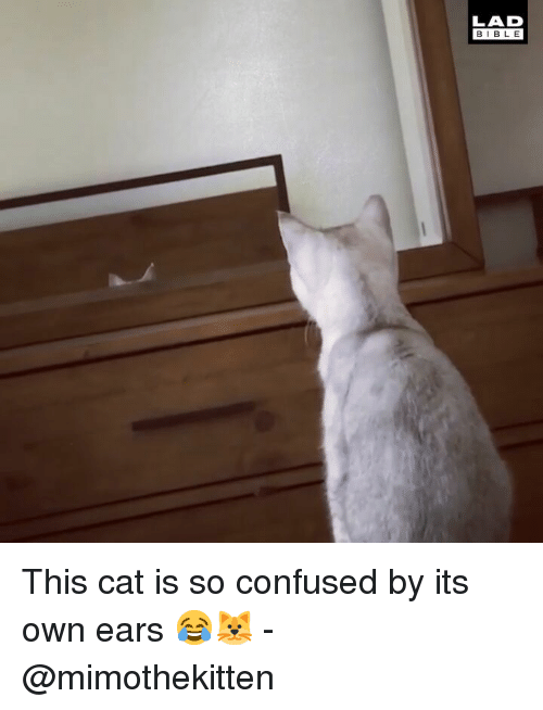 Confused, Memes, and Bible: LAD  BIBLE This cat is so confused by its own ears 😂🐱 - @mimothekitten
