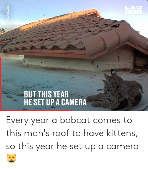 Bobcat: LAD  BUT THIS YEAR  HE SET UP A CAMERA Every year a bobcat comes to this man's roof to have kittens, so this year he set up a camera 😺