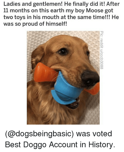 Memes, Best, and Earth: Ladies and gentlemen! He finally did it! After  11 months on this earth my boy Moose got  two toys in his mouth at the same time!!! He  was so proud of himself! (@dogsbeingbasic) was voted Best Doggo Account in History.