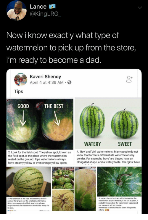 Largest: Lance  @KingLRG  Now i know exactly what type of  watermelon to pick up from the store,  i'm ready to become a dad.  Kaveri Shenoy  April 4 at 4:39 AM  Tips  GOOD  THE BEST  WATERY  SWEET  4. 'Boy and 'girl' watermelons: Many people do not  know that farmers differentiate watermelons by  gender. For example, 'boys' are bigger, have an  elongated shape, and a watery taste. The 'girls' have  2. Look for the field spot: The yellow spot, known as  the field spot, is the place where the watermelon  rested on the ground. Ripe watermelons always  have creamy yellow or even orange-yellow spots,  5. Inspect the tail: A dried tail indicates that the  watermelon is ripe. However, if the tail is green, it  probably means that the watermelon was picked  too soon and will not be ripe.  Remember to kindly like and share this post to  others.  3. Pay attention to the size: It is better to choose  neither the largest nor the smallest watermelon.  Select an average-sized fruit. And note, please:  large or small, the watermelon should feel heavy for  its size.