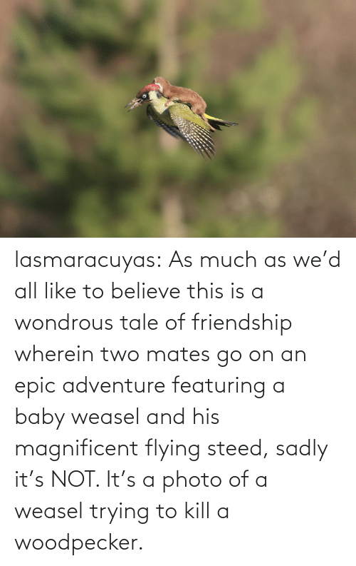 woodpecker: lasmaracuyas: As much as we'd all like to believe this is a wondrous tale of friendship wherein two mates go on an epic adventure featuring a baby weasel and his magnificent flying steed, sadly it's NOT. It's a photo of a weasel trying to kill a woodpecker.